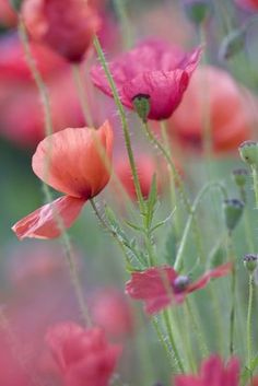 Pastel Poppies by Le Flowers Garden Love My Flower, Wild Flowers, Beautiful Flowers, Bloom, Deco Floral, Flower Photos, Garden Plants, Mother Nature, Planting Flowers
