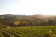 Viticcio and it's vineyards