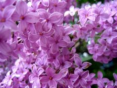 How to Propagate Lilacs!