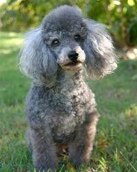 poodle .... This looks exactly like my Jasmine!