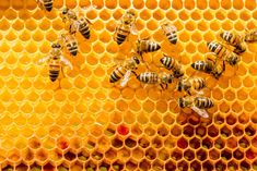 Bees are so important to growing food because of the pollination services they provide. Many of our favorite nuts and fruits would be impossible without bees. But did you know there are several common bee varieties? Learn about them here. Types Of Bees, Bee Honeycomb, Backyard Beekeeping, Backyard Poultry, Bee Keeping, Health Benefits, Stock Photos, This Or That Questions, Insects