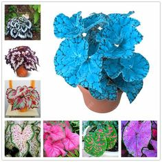 [Visit to Buy] Begonia seeds bonsai flower seeds looks like coleus seed so rare flowers begonia plants for home garden Bonsai Seeds, Tree Seeds, Purple Pampas Grass, Lotus Flower Seeds, Banana Seeds, Coleus, Bamboo Seeds, Cherry Tomato Plant, Lavender Seeds