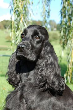 A list of the cutest black cocker spaniel pictures. Are you in the mood to see some adorable photos of black cocker spaniels? This is a list of some of the cutest black cocker spaniel photos. English Spaniel, English Cocker, Cute Dogs And Puppies, I Love Dogs, Doggies, Weimaraner, Black Cocker Spaniel Puppies, Akita, Pug