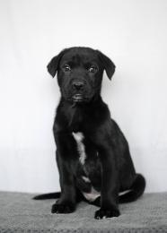 Shadow - Labrador Retriever