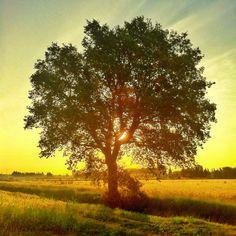 The oak tree. Isaiah 61:3