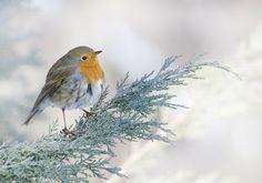 Winter Robin | Flickr - Photo Sharing!