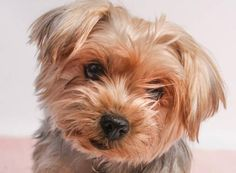 Petango.com – Meet Shelley, a 8 years 5 months Terrier, Yorkshire available for adoption in COLORADO SPRINGS, CO