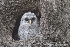 The Barred Owlet at Sunset bay is a day older and shown up 30 minutes earlier than the day before. Despite another cloudy day, i was able to gain 4 stops of Barred Owl, Cloudy Day, Cavities, Feathers, Wildlife, Wings, Fur, Rock, Nature