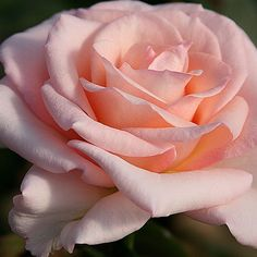 "Pearl Essence™, The breeder says, ""'Pearl Essence' has the rich sent of sweet pink grapefruit"". The blooms are long-lasting in the vase as cut flowers. The buds open into perfectly spiraled, porcelain pink blended blooms. Makes a good cut flower. Petals 30, Bloom 5"""