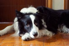 Why I Love Border Collies