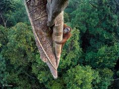 """Entwined Lives. © Tim Laman, USA. Winner, """"Wildlife Photographer of the Year 2016."""". A young male orangutan makes the 30 meter (100 foot) climb up the thickest root of a strangler fig that has twined itself around a tree emerging high above the canopy. The backdrop is the rich rainforest of the Gunung Palung National Park, in West Kalimantan, one of the few protected orangutan strongholds in Borneo. The orangutan has returned to feast on a crop of figs. He has a mental map of the likely…"""