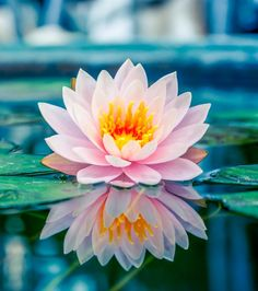 Beautiful pink lotus, water plant with r... | Premium Photo #Freepik #photo #background #flower #floral #abstract