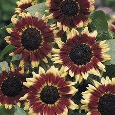 Florenza Sunflower - Loads of 5 inch Mahogany-red and yellow bicolor blooms on well-branched 4-4.5 foot plants. Grow it for cutting or to add color and height to large borders.