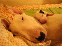 Mommy & Baby Bull Terrier! This melts my heart!