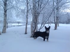 Lapinporokoira - Lapponian Herder Räpsy Levi, Finland Photo by @Virpula1