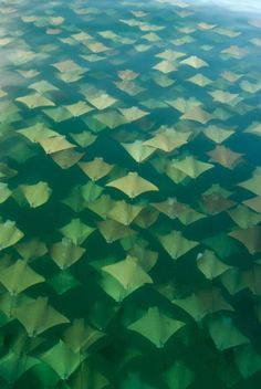 """In 2008, amateur photographer Sandra Critelli captured these stunning images of a mass migration of golden Cownose Rays while looking for whale sharks off the coast of Mexico. She said, """"It was an unreal image, very difficult to describe. The surface of the water was covered by warm and different shades of gold and looked like a bed of autumn leaves gently moved by the wind."""" The photo brings to mind M.C. Escher's tessellations.  via Bruce Zurakowski"""