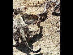 Leopard VS African Rock Python, Leopard kills Huge African Rock Python