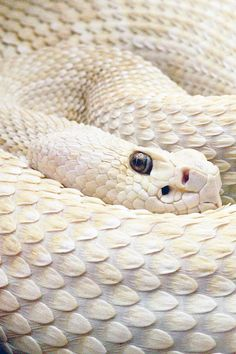 This is a beautiful snake! Pretty Snakes, Beautiful Snakes, Beautiful Creatures, Animals Beautiful, Melanistic Animals, Rare Albino Animals, Snake Scales, Melanism, Cute Snake