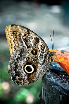 Butterfly, Mangal das Garças, Belém, Brasil