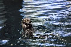 Sea otter pup Ellie bobs in the water with a snack - April 1, 2016