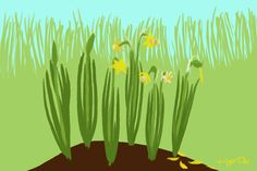 A clump of daffodils showing the steps of drawing, and of aging, the flowers