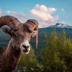 """""""Bold Ram: This rocky mountain big horn sheep ram was bold enough to allow me to approach him and snap this shot before he lost interest in me and rejoined his herd"""". (Photo and comment by Scott Trageser/National Geographic Photo Contest via The Atlantic) National Geographic Fotos, National Geographic Photo Contest, National Geographic Photography, Big Horn Sheep, Forest And Wildlife, Underwater Creatures, Photo Competition, Mundo Animal, Rocky Mountain National Park"""