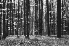 Dark Tree and Bluebells