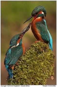 Common Kingfisher (Alcedo atthis) - Europe, Asia, Africa, Australia.  Similar to Azure Kingfisher - the Common Kingfisher has freckles on head; the Azure Kingfisher does not have head freckles.