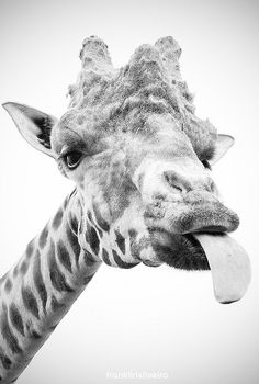 Funny Giraffe.
