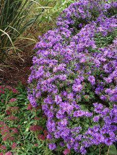 Asters ~ A fall finale to the garden