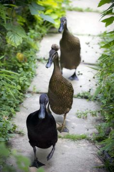 My lovely Indian Runner ducks running to me for a treat!