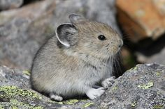 Animals For > Baby Pikas