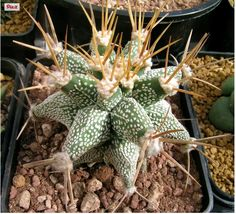 Astrophytum kikko ornatum