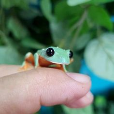 Cute Reptiles, Reptiles And Amphibians, Cute Little Animals, Cute Funny Animals, Pet Frogs, Funny Frogs, Frog Pictures, Frog Art, Frog And Toad