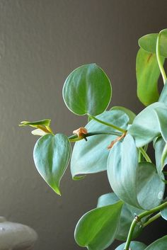 Philodendron: noted by NASA among the best types of houseplants for removing formaldahyde, especially higher concentrations. (But these plants are poisonous to pets and children) Diy Garden, Indoor Garden, Garden Plants, House Plants, Container Gardening, Gardening Tips, Types Of Houseplants, Boffi, Gardens
