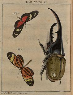 Hercules Beetle (Dynastes hercules)