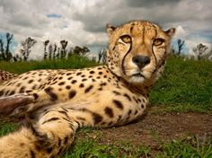 Enjoying the attention, the cheetah Juba stretches out in the grass at Wetevreden Leeuplaas (Lion Farm). She needed some peace and quiet because her leg was broken. Natural World, Exotic Cats, Our World, South Africa, Creativity, Animal Pictures, Cool Pictures, Lion, Cheetahs
