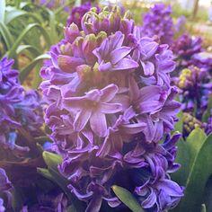 Hyacinth #hyacinth #spring #flower