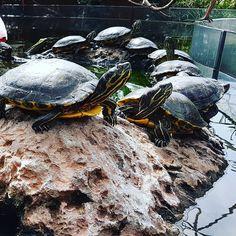 Lined up. #tortues #tortugas #nature #oceanografic #Valencia #Spain #españa Valencia Spain, Instagram Posts, Nature, Flowers, Animals, Turtle, Animales, Naturaleza, Animaux