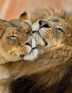 Lions are such loving and courageous creatures.