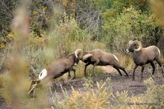 Big Horn Sheep facing off Big Horn Sheep, Wild Animals Photos, Big Game Hunting, Great Plains, Wild Mustangs, Majestic Animals, Rocky Mountain National Park, Rocky Mountains, Animal Pictures
