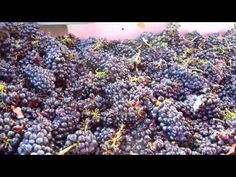 Pinot noir grapes on a vibrating sorting table @Cuvaison Estate Wines #napaharvest #napavalley