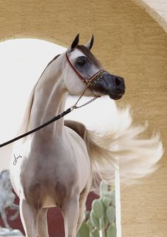 Hairy Al Shaqab purebred arabian stallion