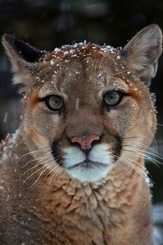 Eclectic ... like me - via: wonderous-world: Canadian Cougar, by Arvo Poolar - source: flickr.com