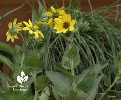 Perennial Texas greeneyes (Berlanderiera betonicifolia) attracts pollinators and repels deer in part shade with moist soil. | Central Texas Gardener