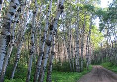 20. From Aladdin we cut cross country on forest service roads to get back to our campsite  in the Black Hills Natl. Forest.  Suddenly came upon this huge grove of massive Aspen trees.  It was awesome to see.