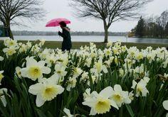 liquid sunshine in Seattle---daffodils at Greenlake Park