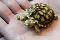 Diese afrikanische Spornschildkröte hat fünf Beine und zwei Köpfe – darum auch zwei Namen: Magda (links) und Lenka (rechts).