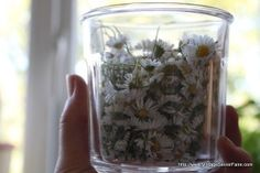 Daisy infused oil for bruises