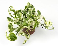 Scindapsus 'Njoy' is a house plant that is just as easy to grow as its relative, golden pothos (Epipremnum aureum). The house plant likes to hang or climb. This Scindapsus is also known as Devils Ivy or pothos. The green leaves have attrac Ivy Plants, Indoor Plants, Epiphyte, Golden Pothos, Pothos Plant, Perfect Plants, Hanging Pots, Planting Bulbs, Houseplants